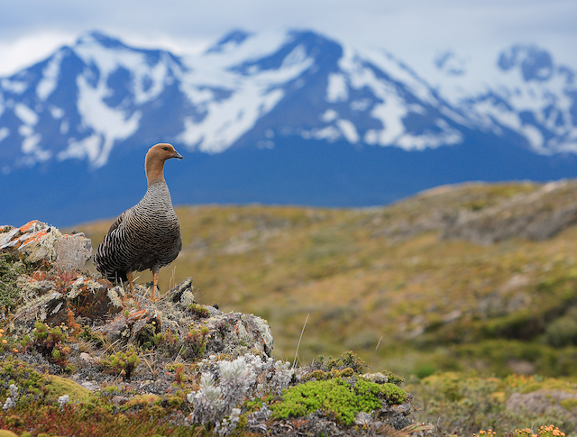 ©Dominic  Garcia-Hall - Upland Goose (Bar-breasted)