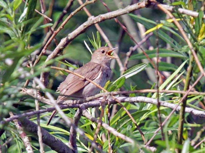 Thrush Nightingale - Volker Hesse