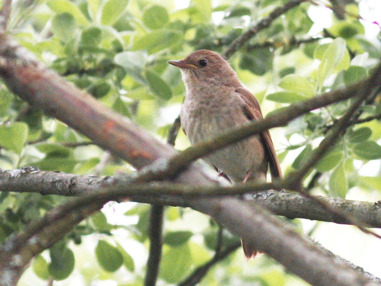 Thrush Nightingale - Knut Hansen