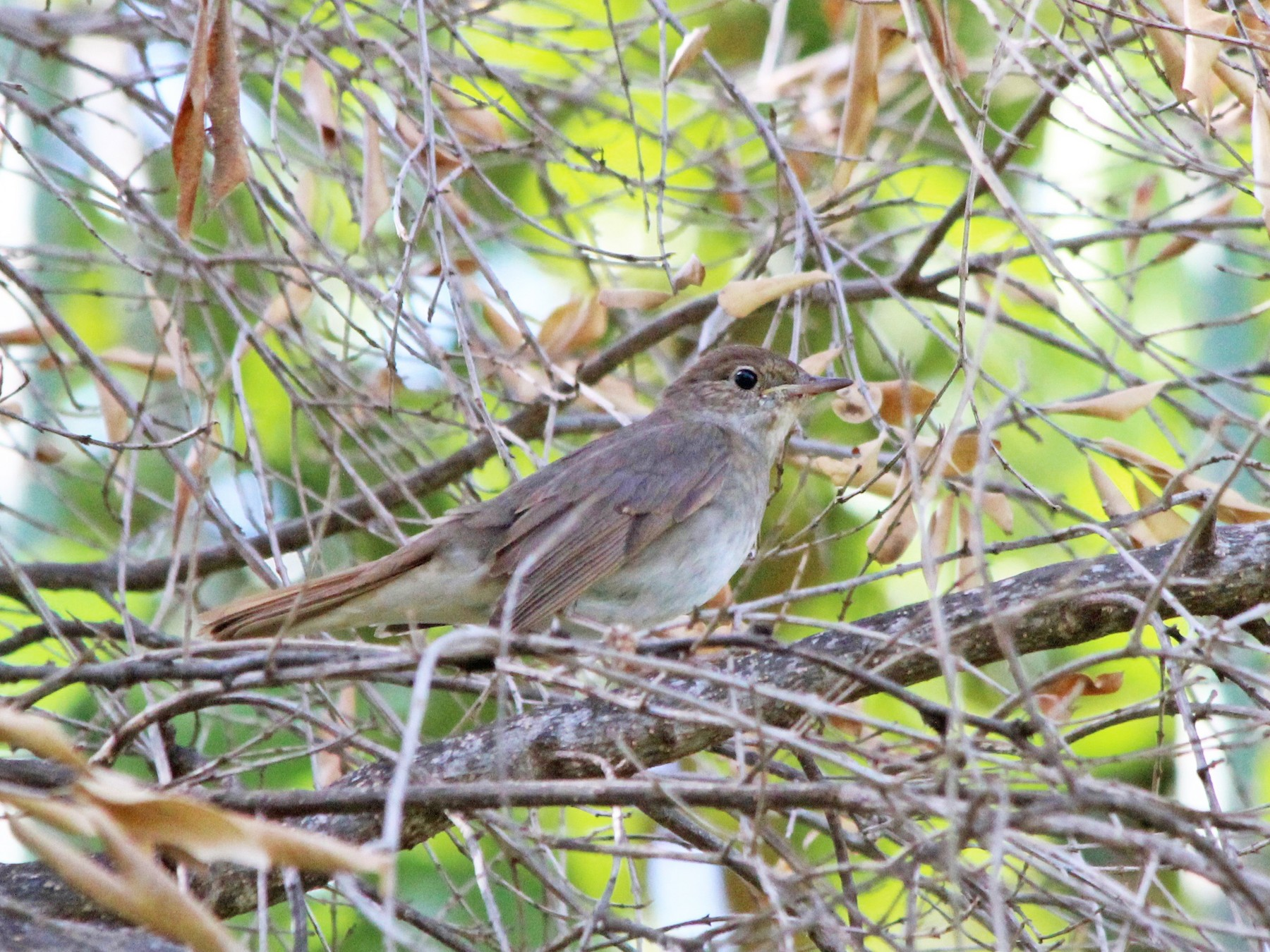 Thrush Nightingale - David Guarnieri