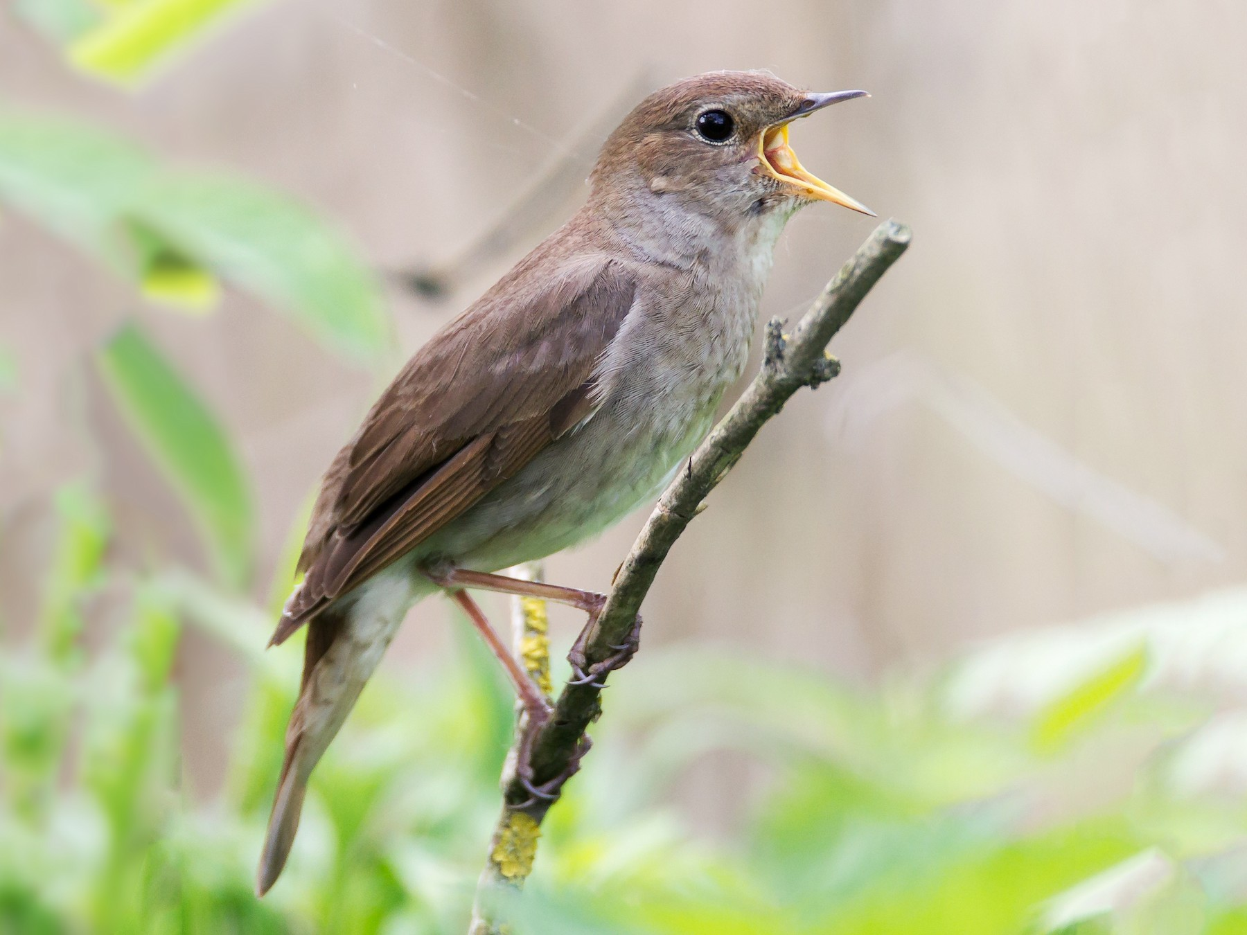 Thrush Nightingale - Robert Lewis