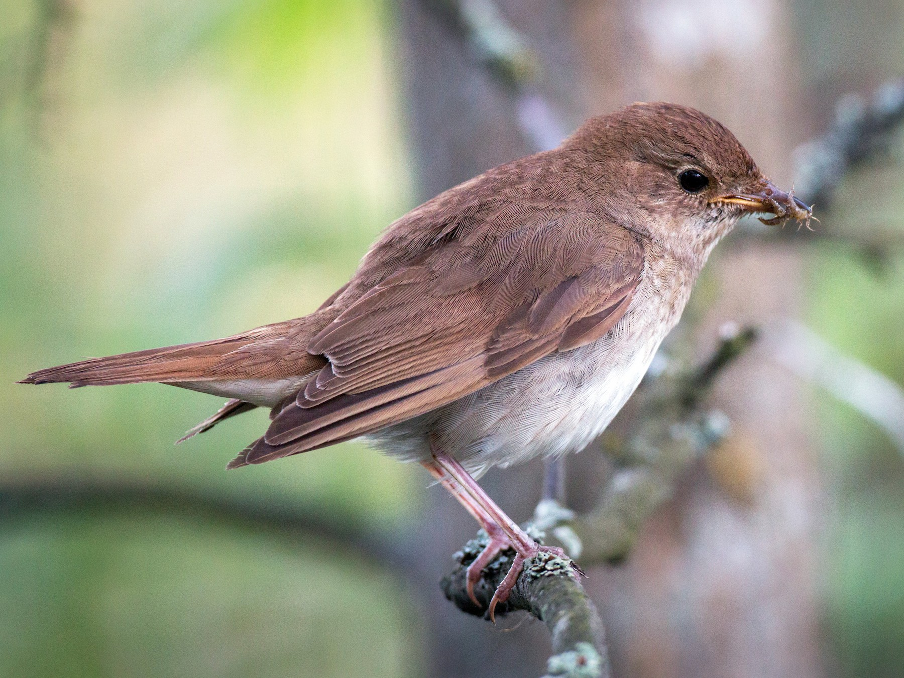 Thrush Nightingale - Ian Davies