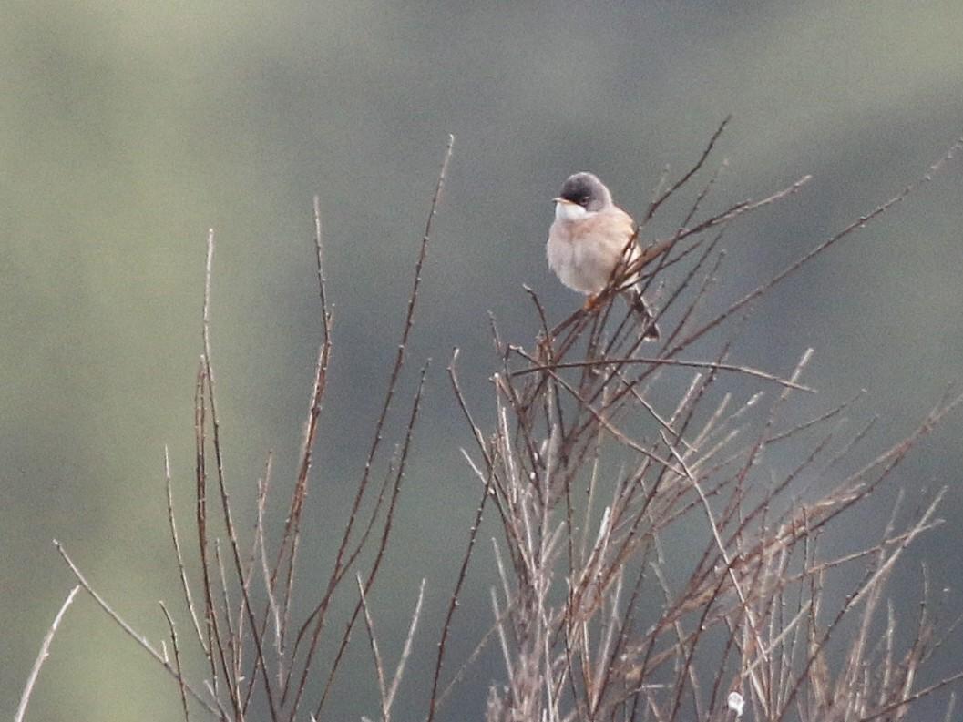 Spectacled Warbler - Daniel Jauvin