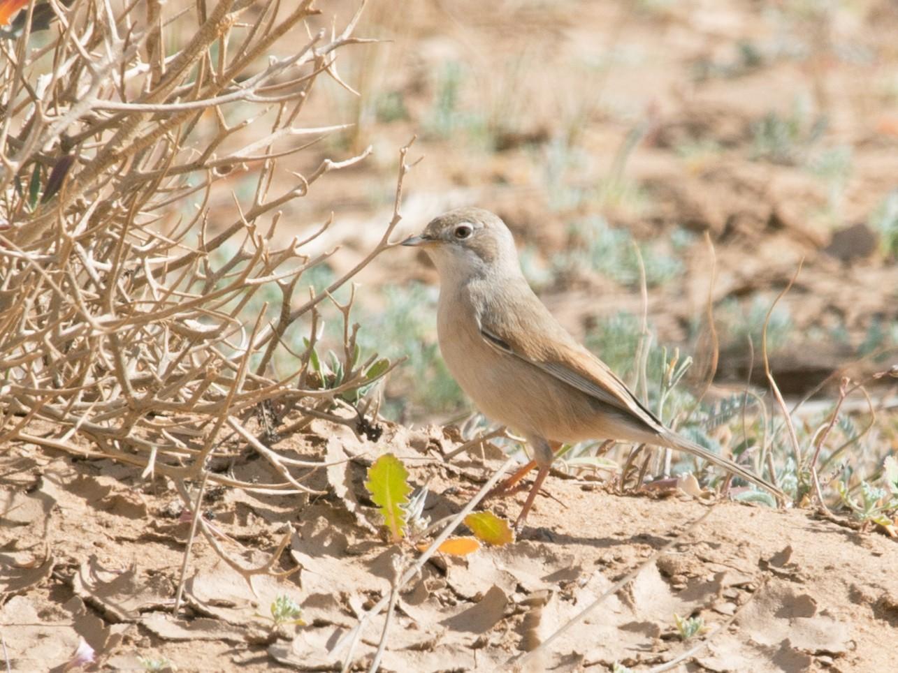 Spectacled Warbler - John C. Mittermeier