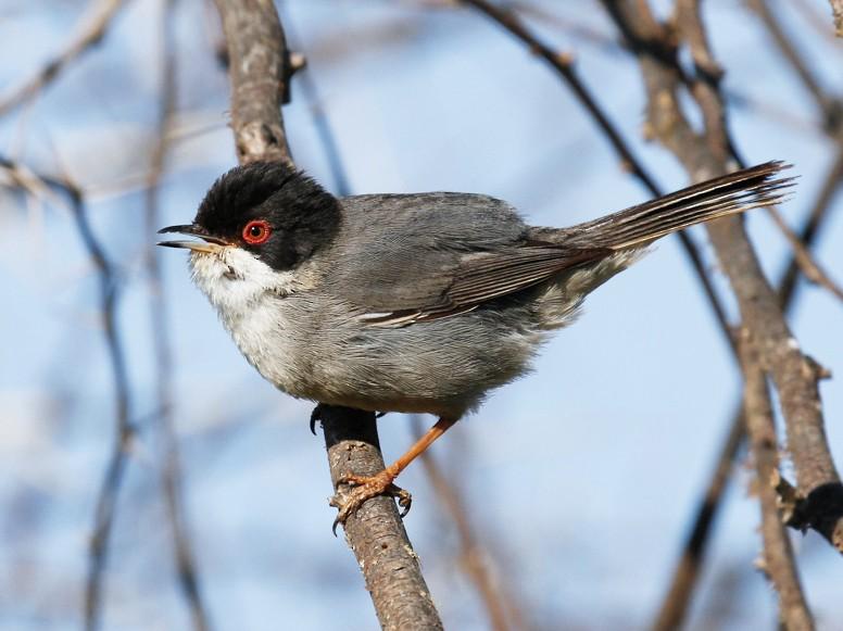 Sardinian Warbler - James Kennerley 🦄