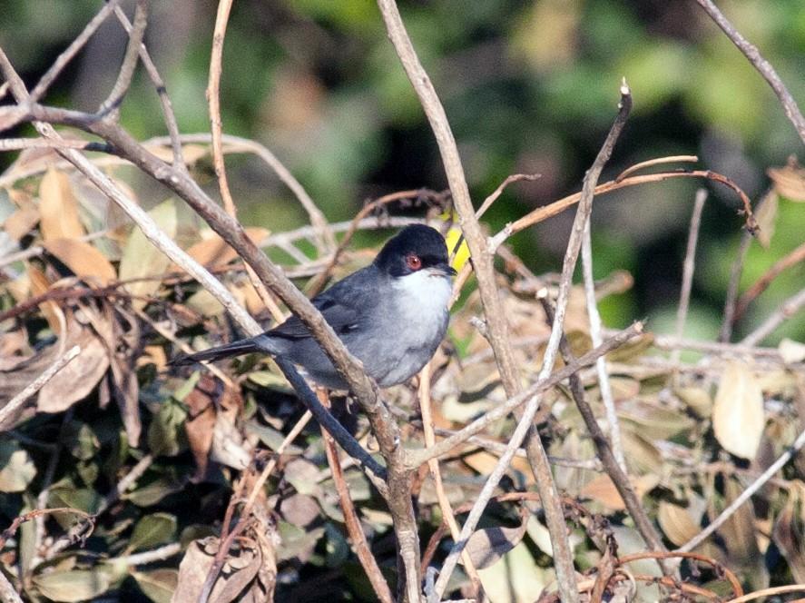Sardinian Warbler - Toby Sackton