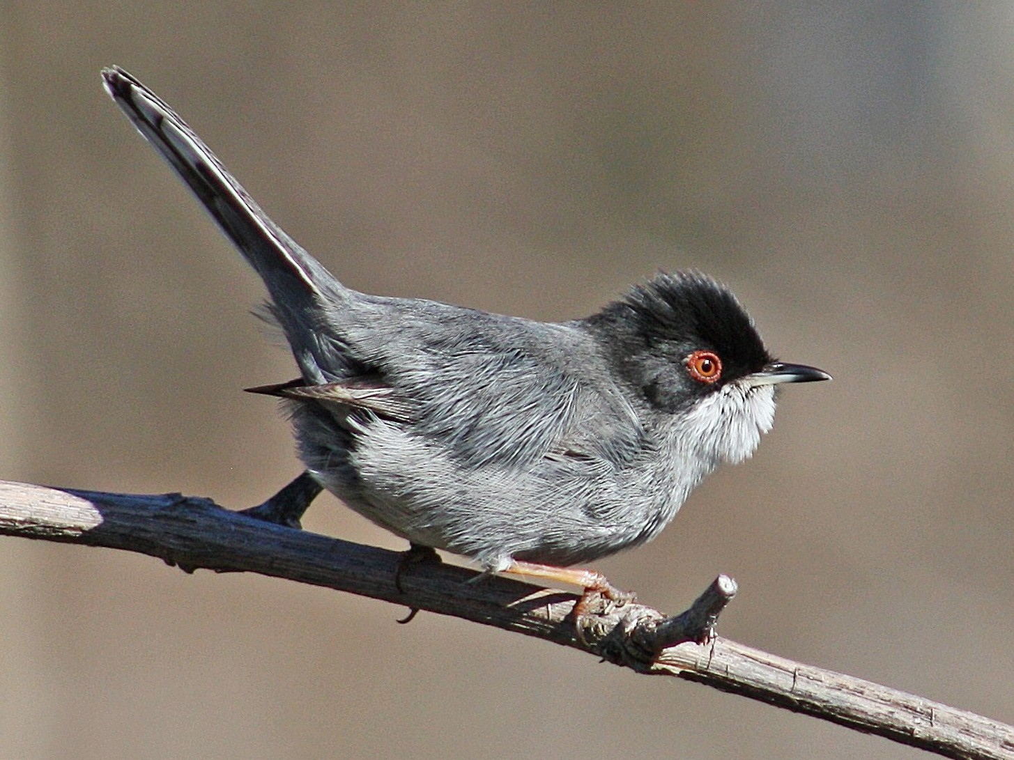 Sardinian Warbler - Tânia Araújo