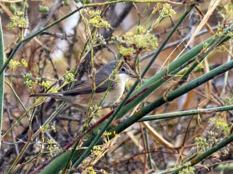 Subalpine Warbler - Pedro Nicolau
