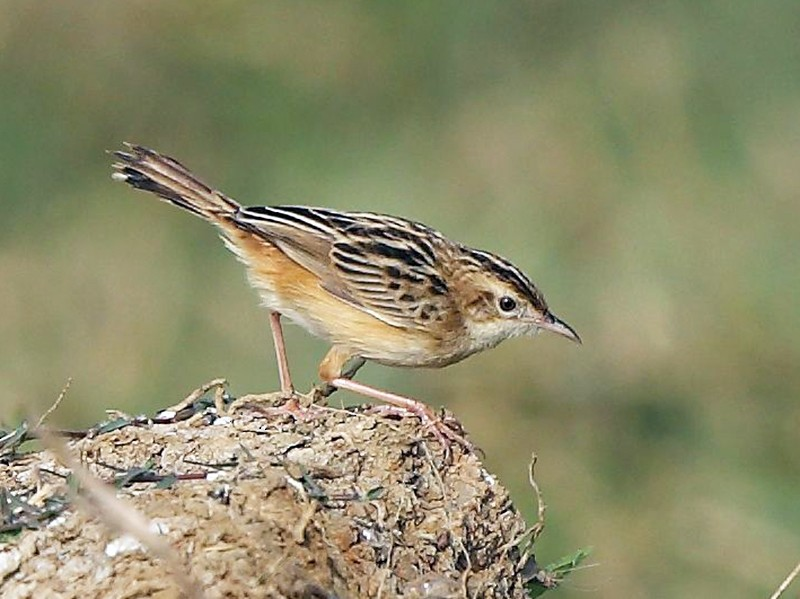 Zitting Cisticola - Albin Jacob
