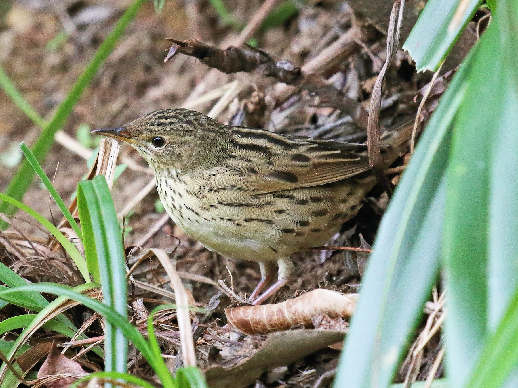 Lanceolated Warbler - ST Chien
