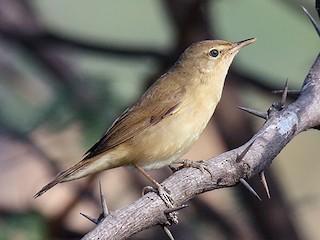 - Blyth's Reed Warbler