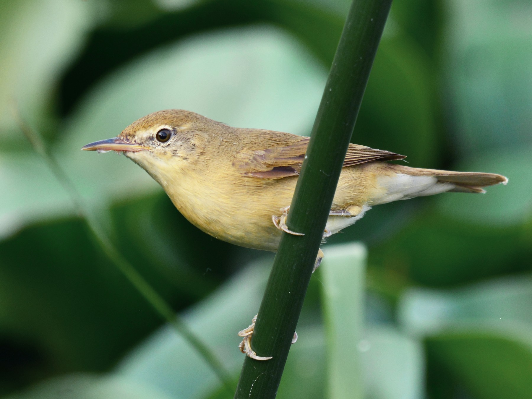 Blyth's Reed Warbler - Renuka Vijayaraghavan