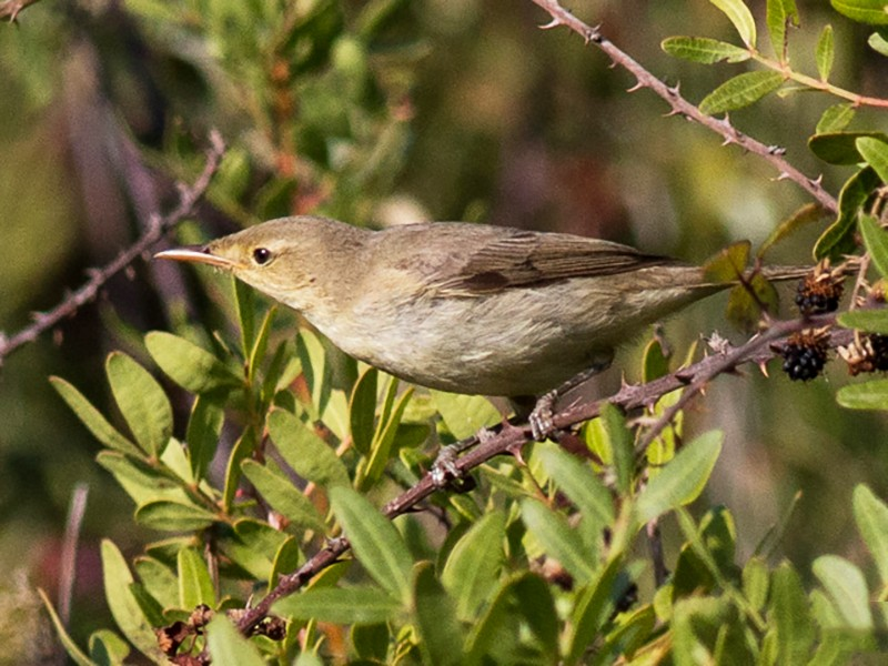 Melodious Warbler - Pedro Nicolau
