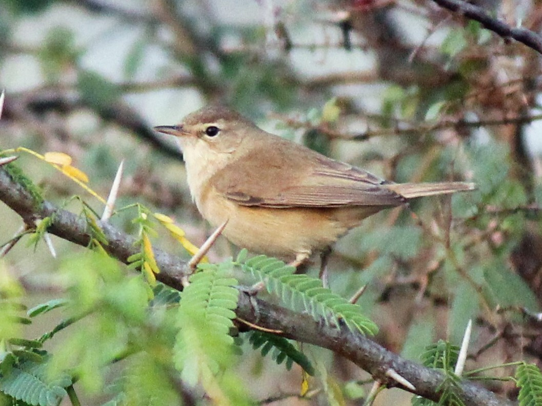 Booted Warbler - TheNatureTrust (GroupAccount)