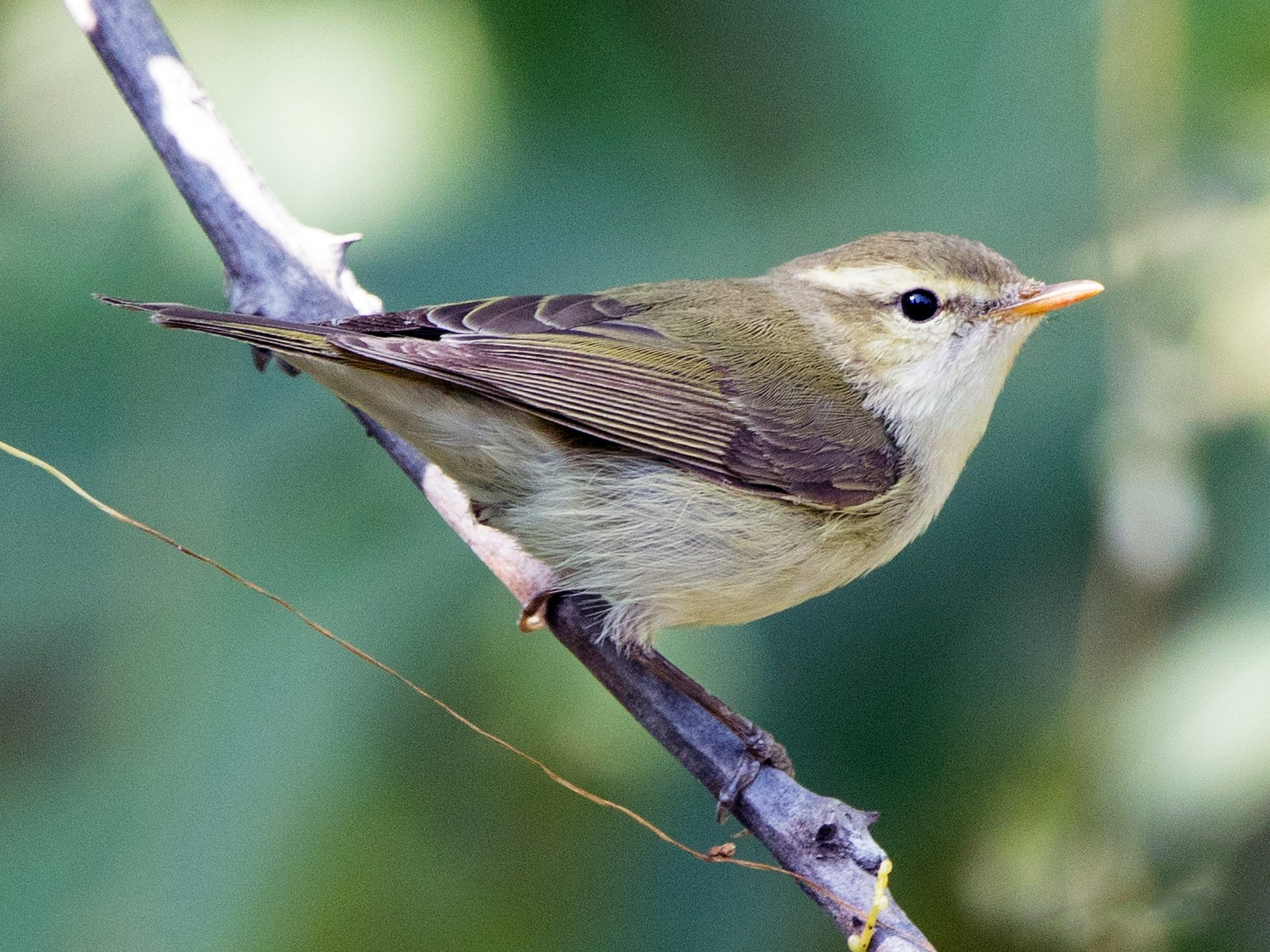 Greenish Warbler - Rhys Marsh