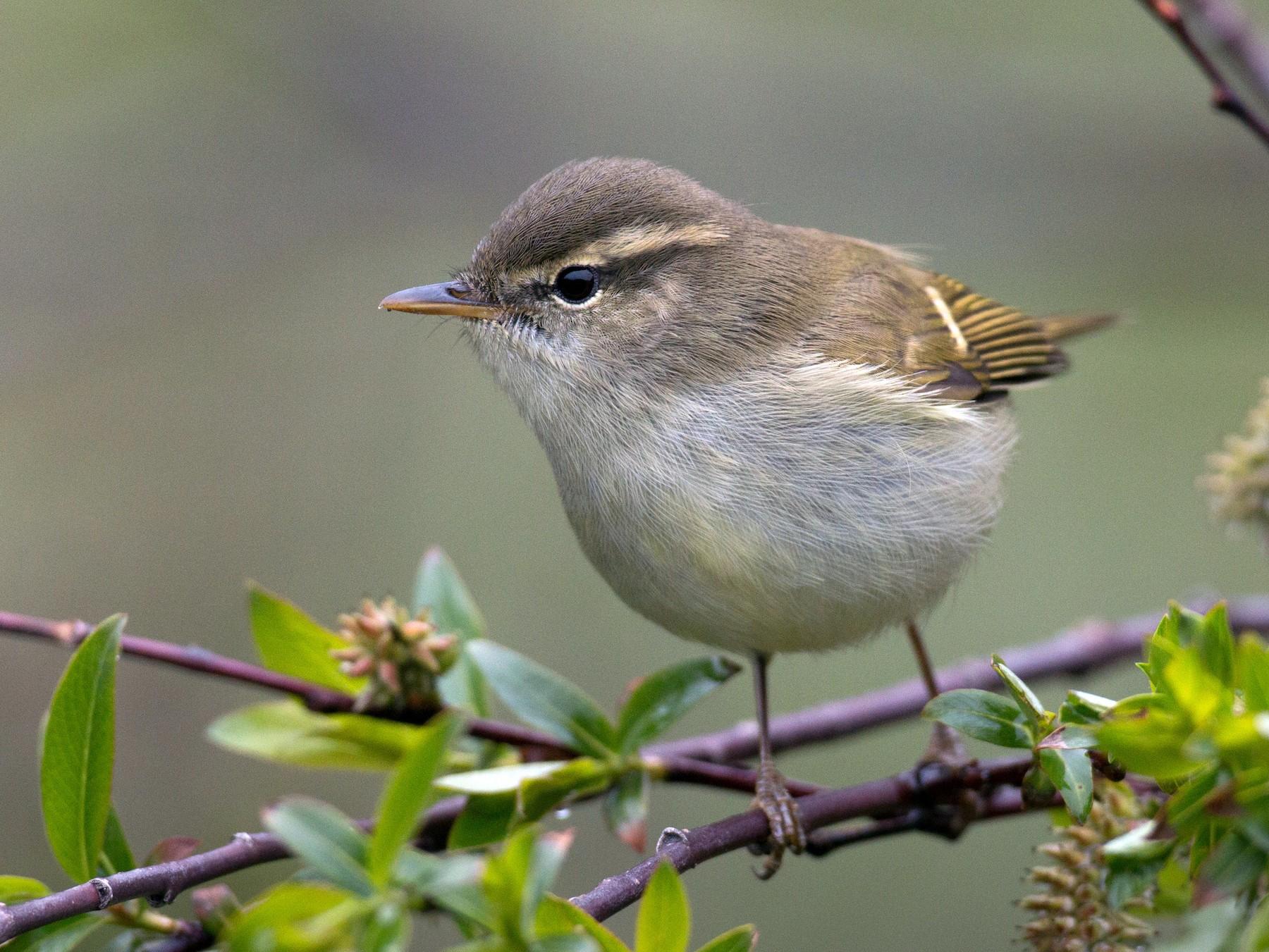 Greenish Warbler - Ian Davies