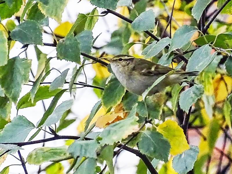 Yellow-browed Warbler - Juan I. Deán