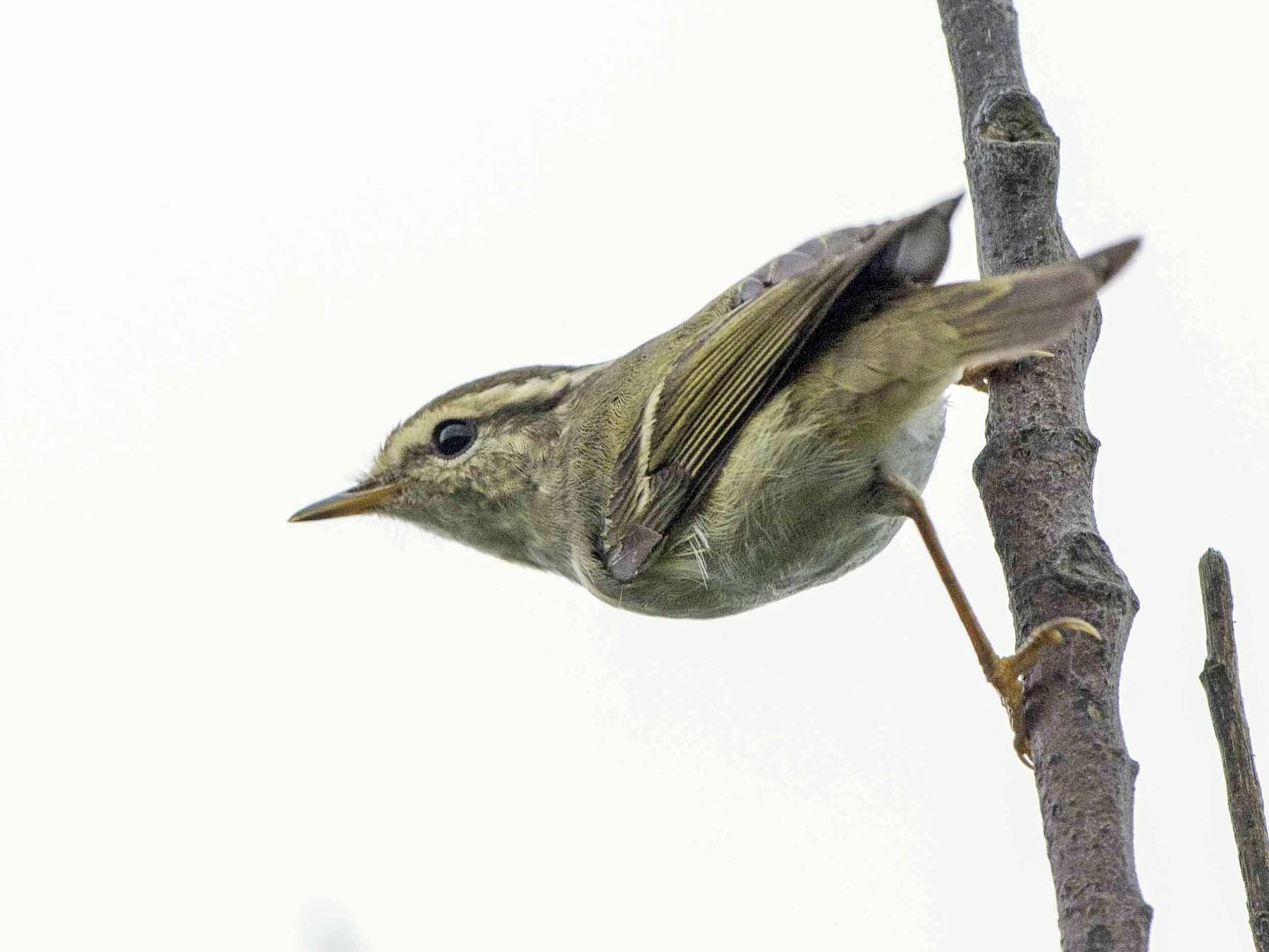 Yellow-browed Warbler - jimmy Yao