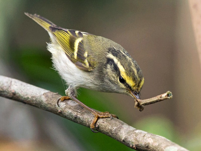 Pallas's Leaf Warbler - David Irving