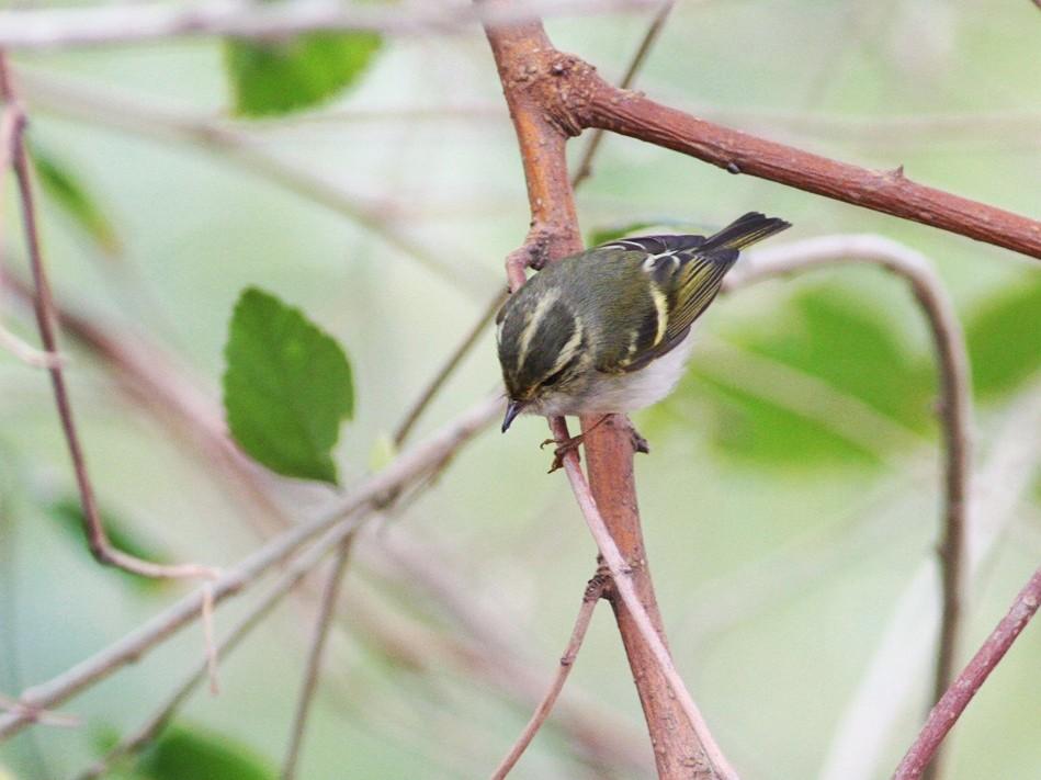 Pallas's Leaf Warbler - Zhi-Yuan Cai