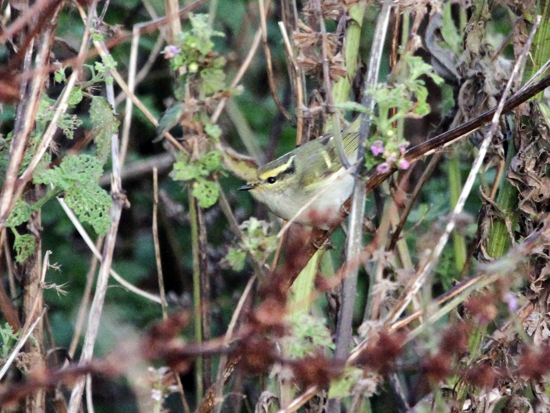 Pallas's Leaf Warbler - James gilroy