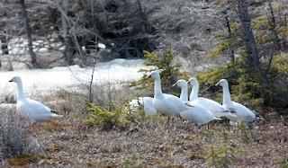Ross's Goose, ML53777771