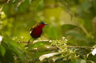 - White-flanked Sunbird