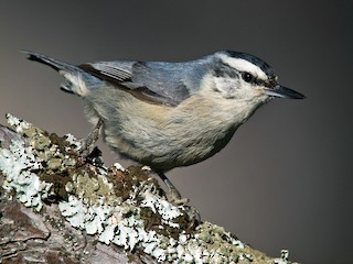 - Corsican Nuthatch