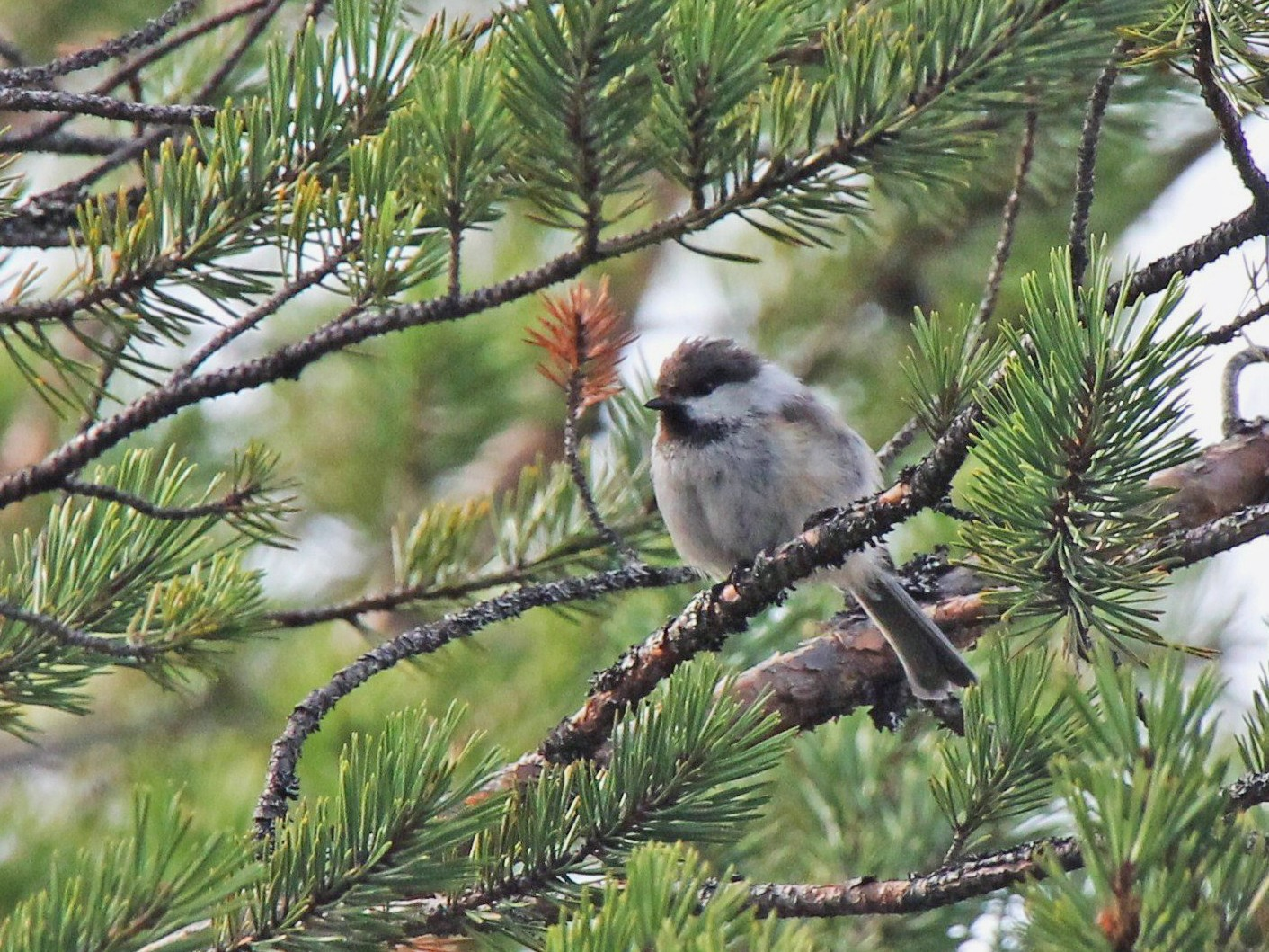 Gray-headed Chickadee - Paul Chapman