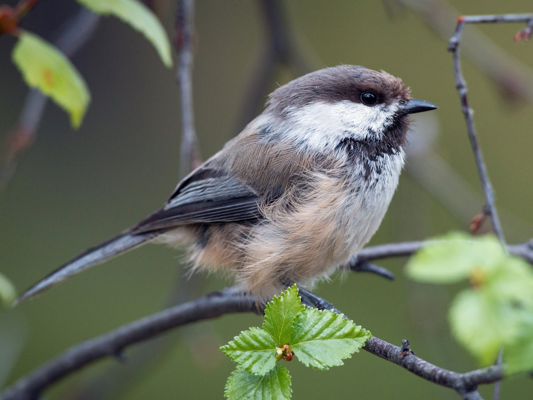 Gray-headed Chickadee - Ian Davies