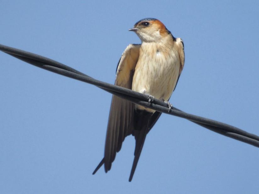 Red-rumped Swallow - Alvaro Peral