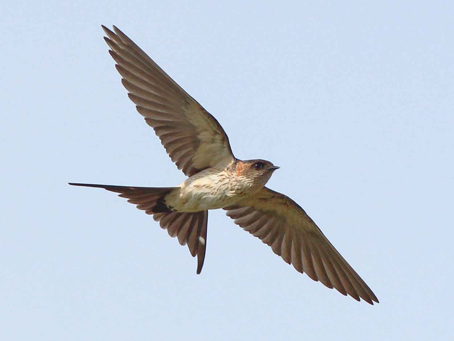 Red-rumped Swallow - Neoh Hor Kee