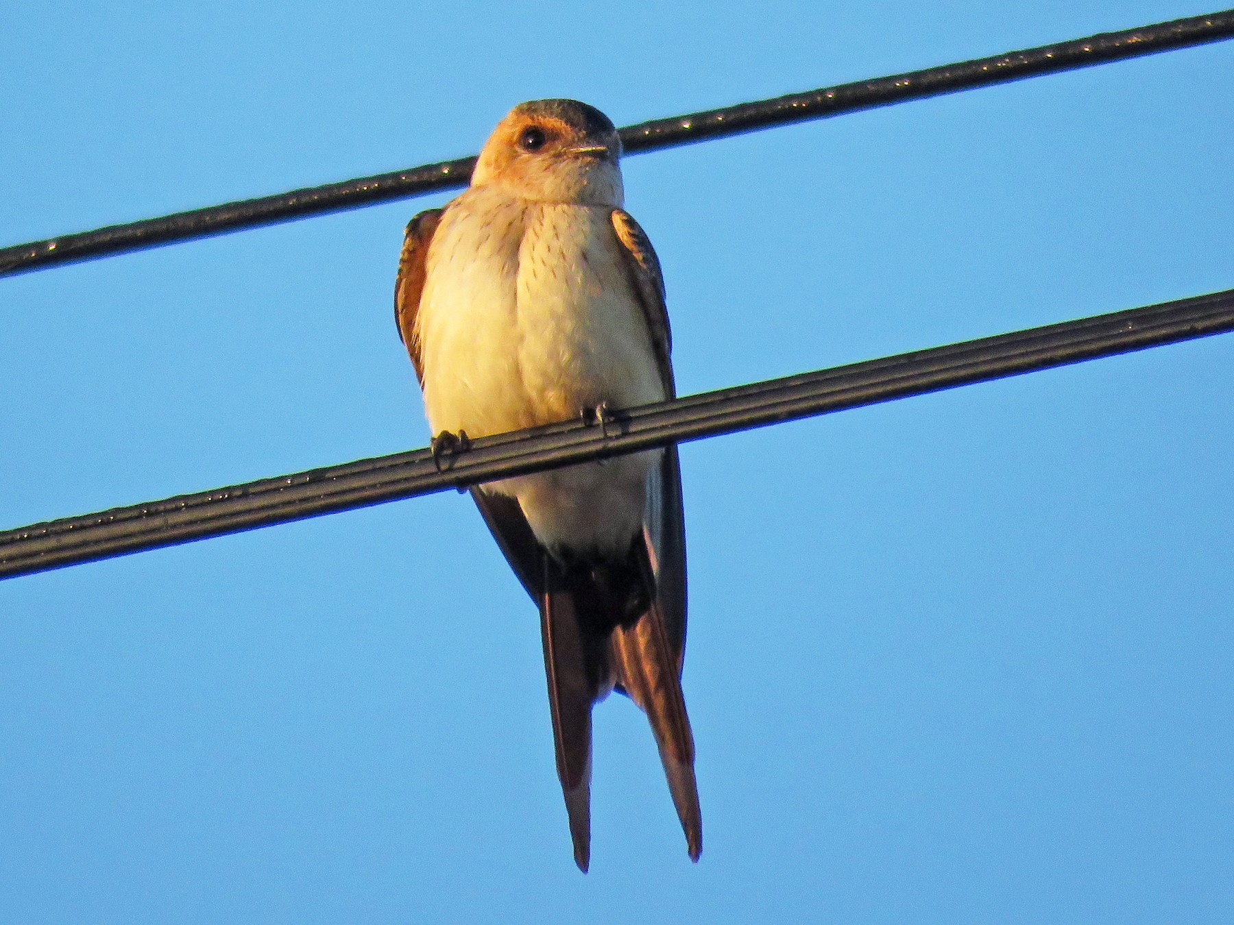 Red-rumped Swallow - Antonio Xeira