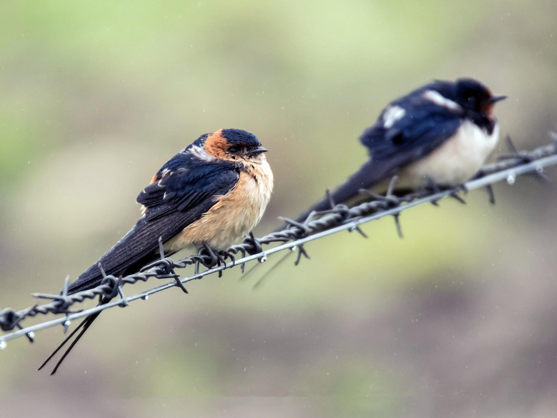 Red-rumped Swallow - Tânia Araújo