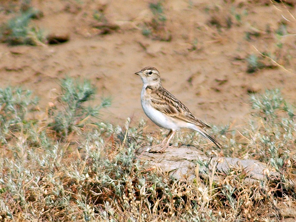Greater Short-toed Lark - Nigel Voaden