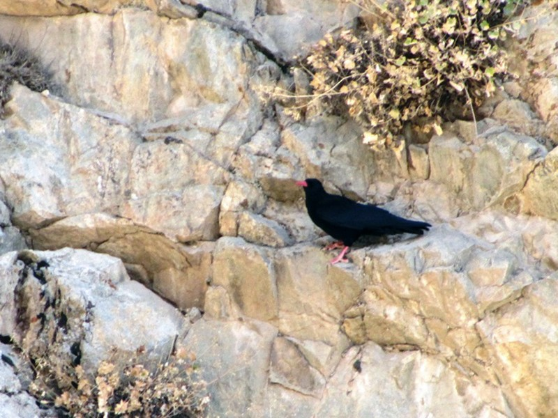 Red-billed Chough - Houman Doroudi