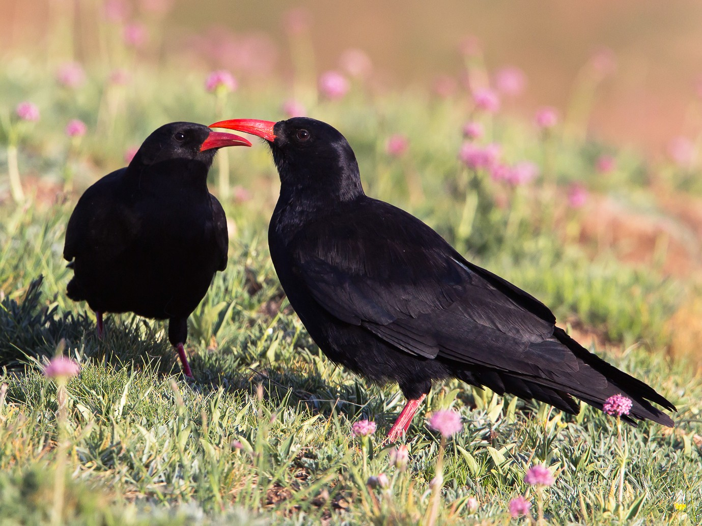Red-billed Chough - Otto Samwald