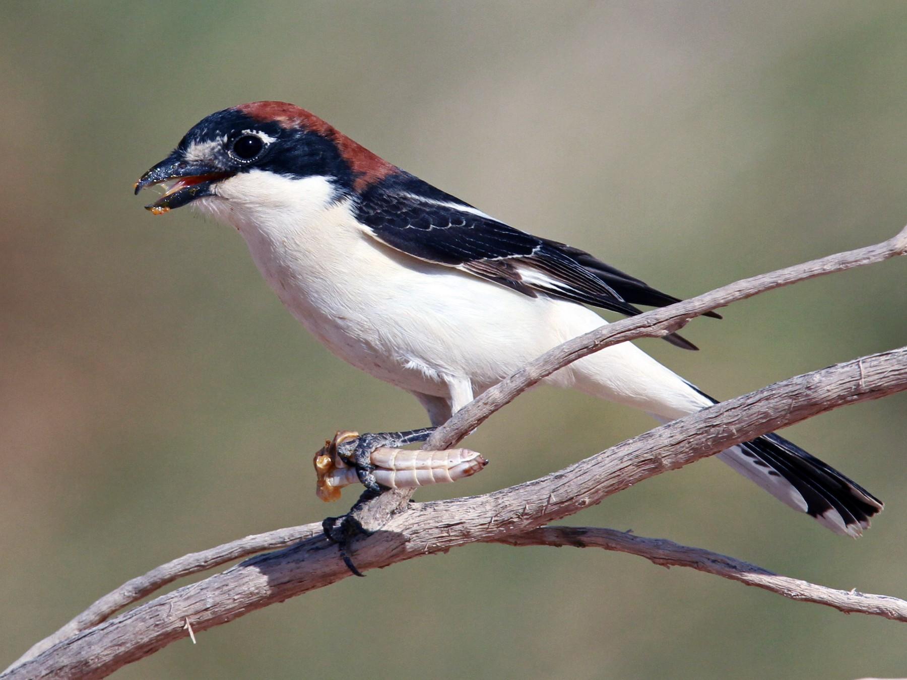 Woodchat Shrike - Volker Hesse