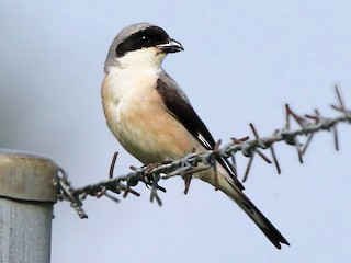 - Lesser Gray Shrike