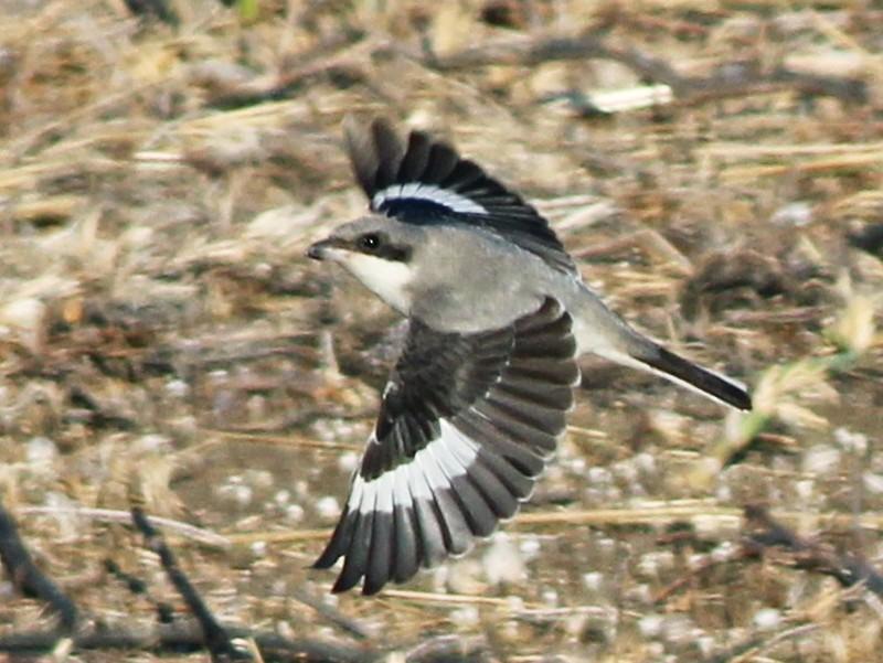 Lesser Gray Shrike - Johan Fagefors