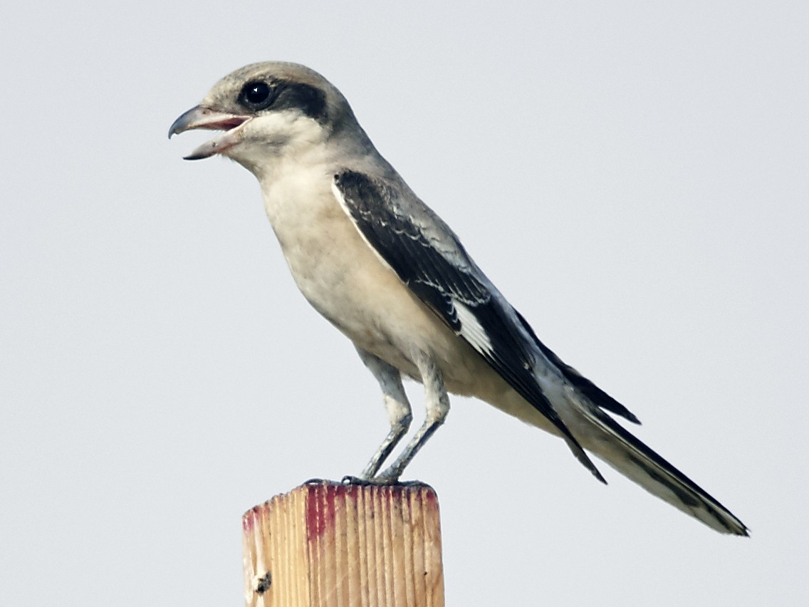 Lesser Gray Shrike - Howard Heaton