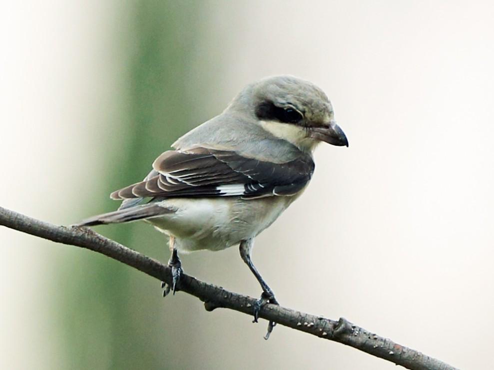 Lesser Gray Shrike - Nigel Voaden