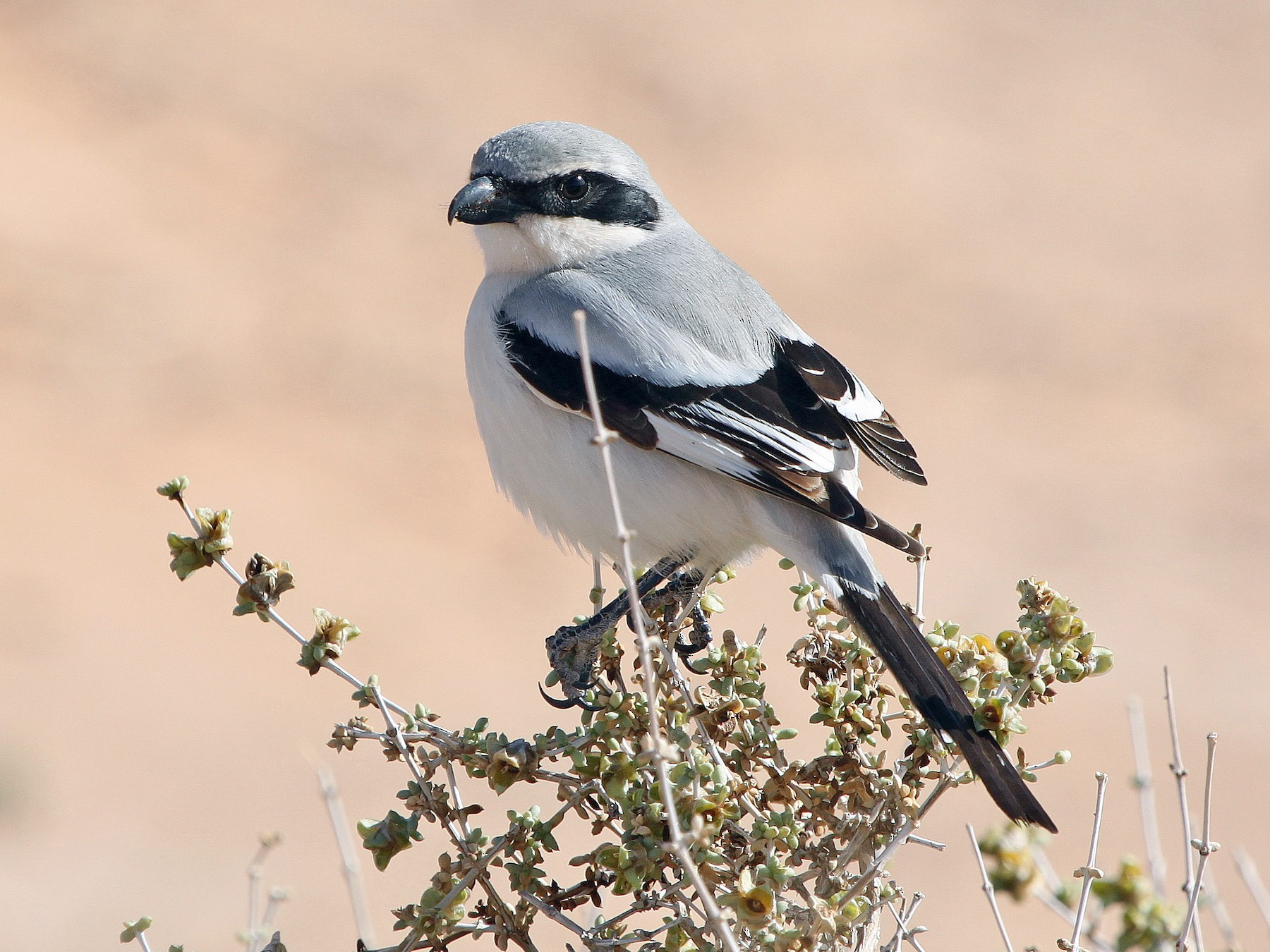 Great Gray Shrike - Alexander Lees