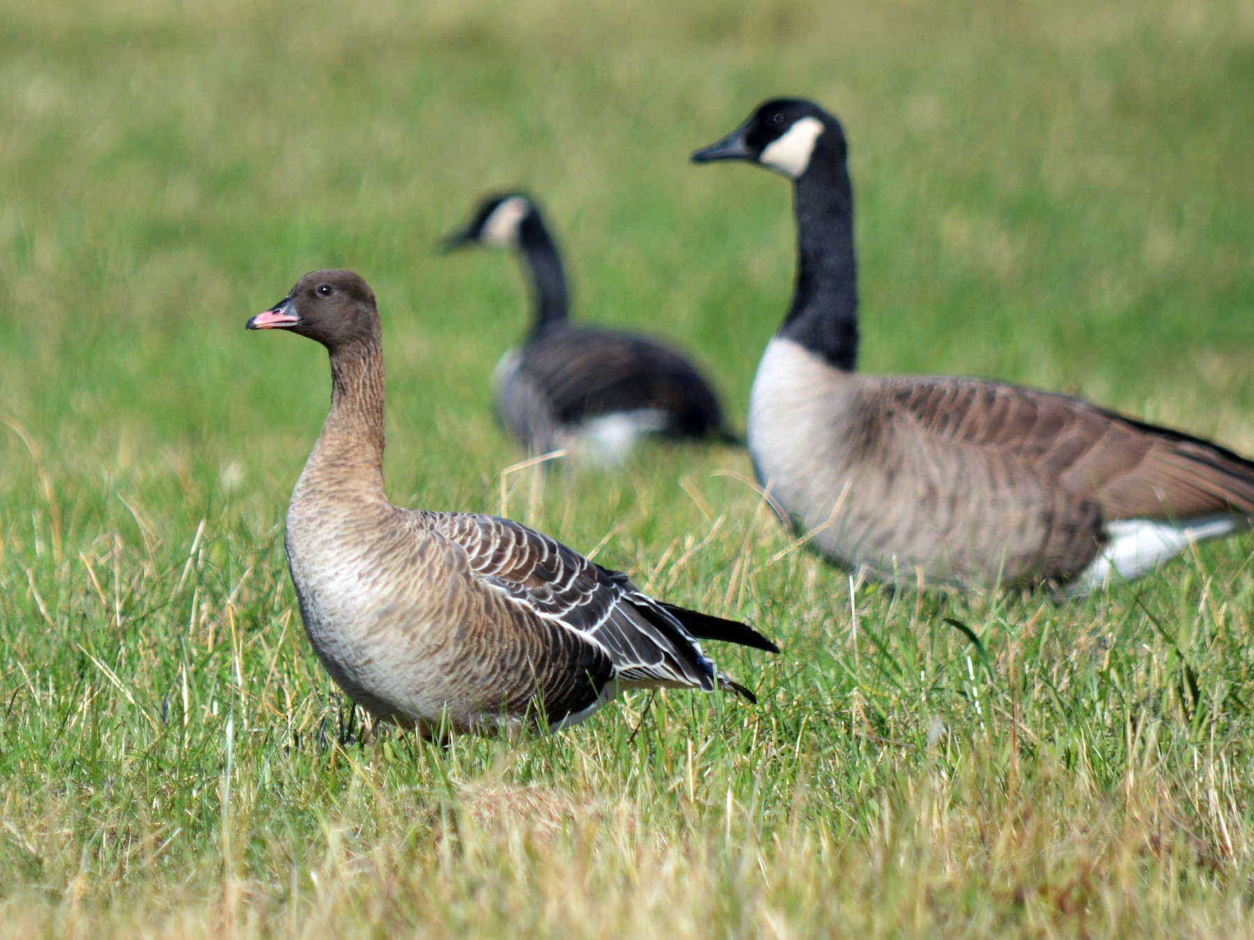 Pink-footed Goose - Sam Zhang