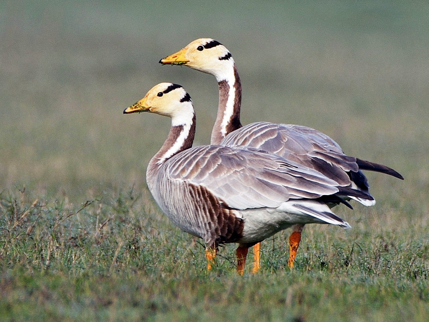 Bar-headed Goose - Bhaskar pandeti