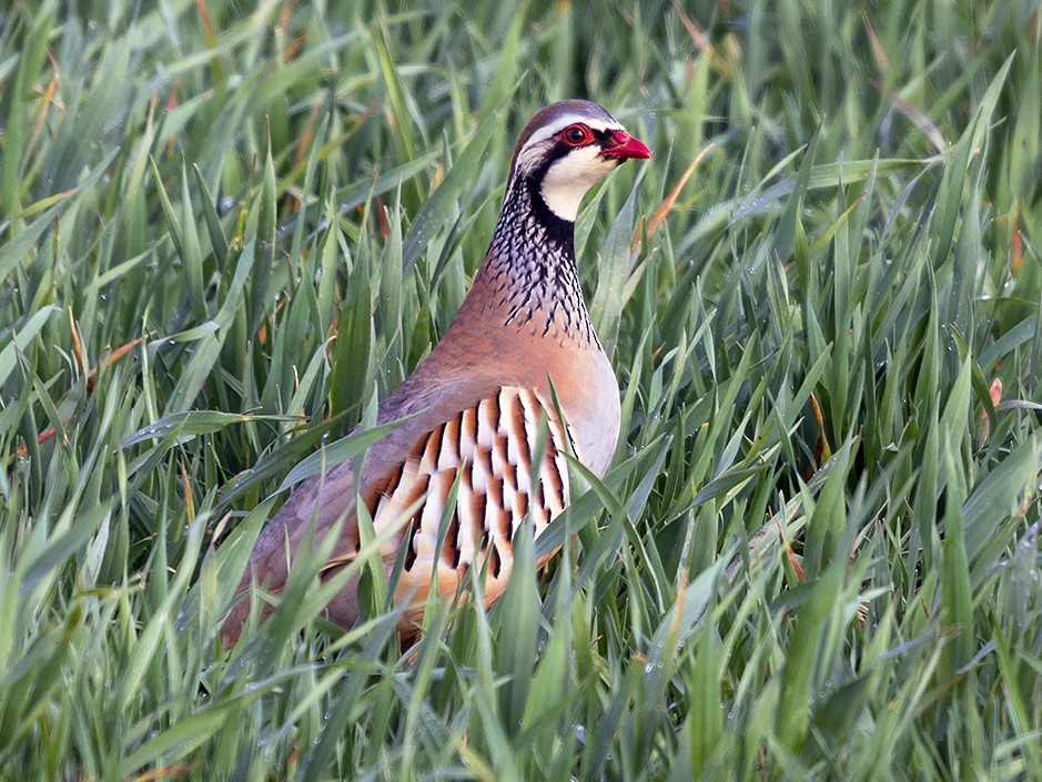 Red-legged Partridge - Miguel Ángel Madrid Gómez