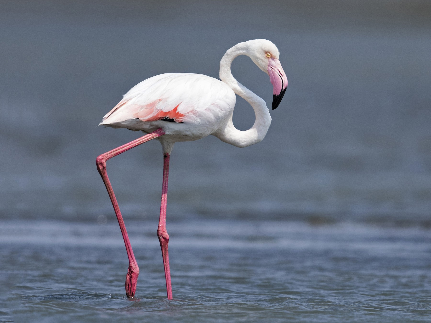 Greater Flamingo - Melvin Jaison