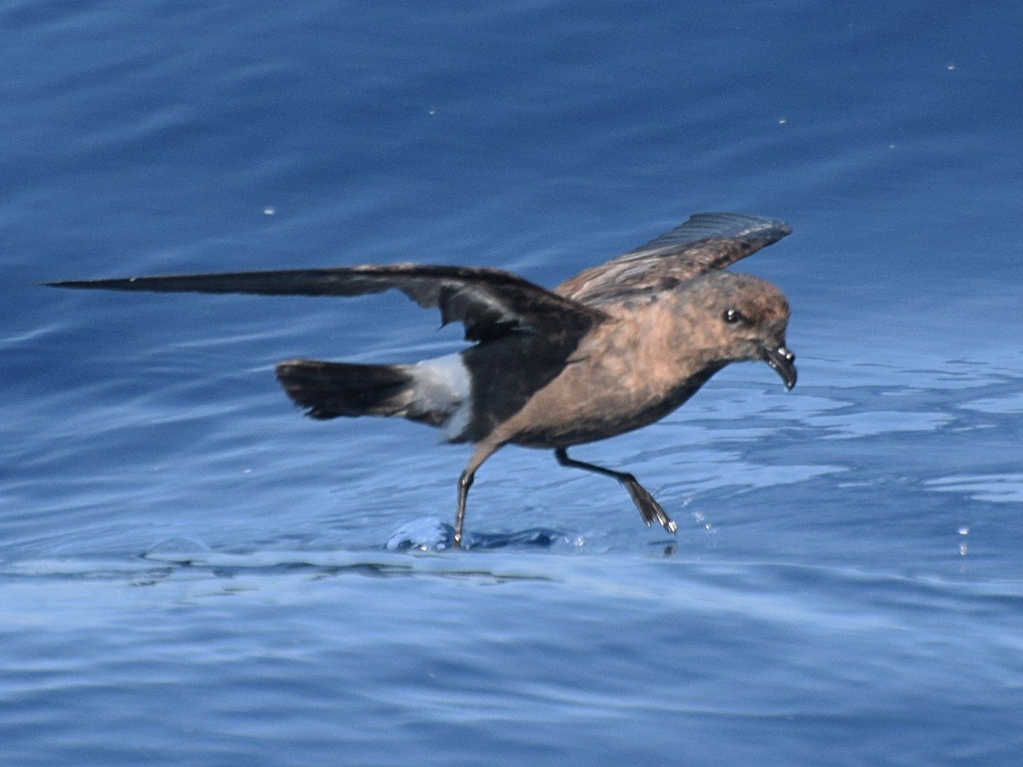 European Storm-Petrel - Will Brooks