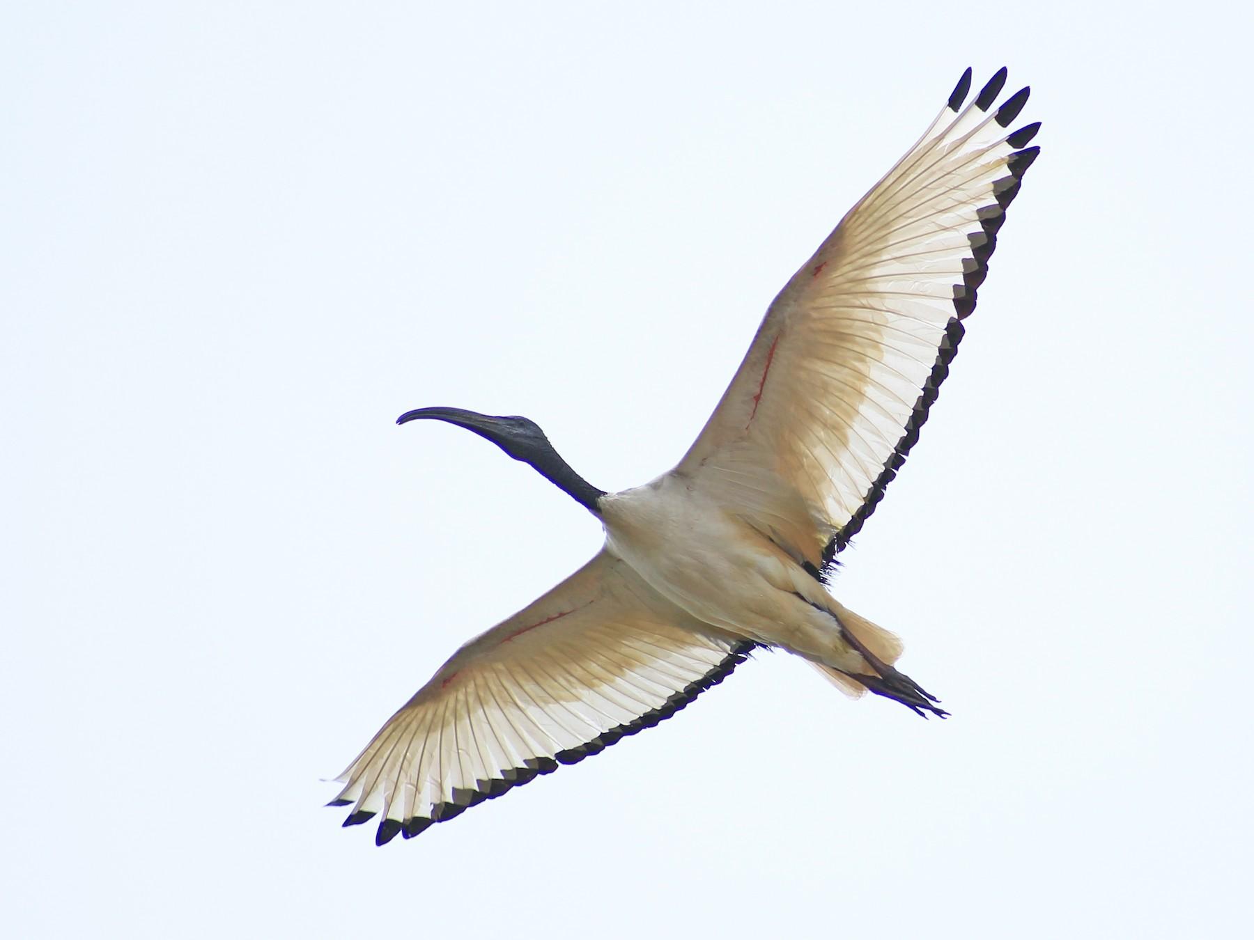 African Sacred Ibis - Thomas Quartier