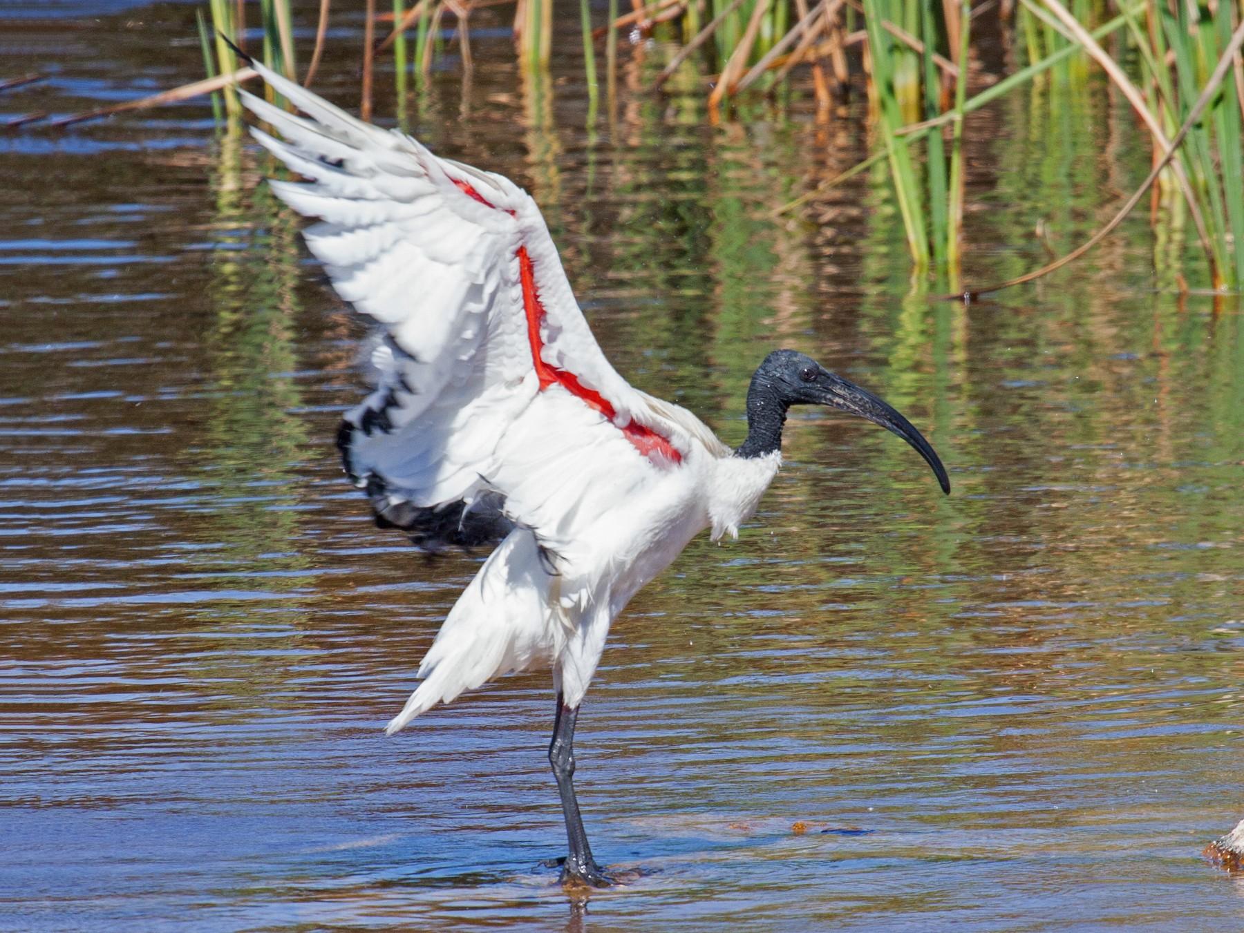 African Sacred Ibis - Craig Faulhaber
